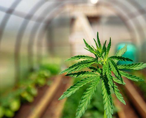 Commercial cannabis farm