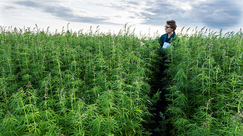 Cannabis and hemp as part of our 'green' future